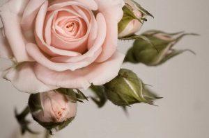 что взять за основу в живом цветке на примере розовой розы с бутонами изображение