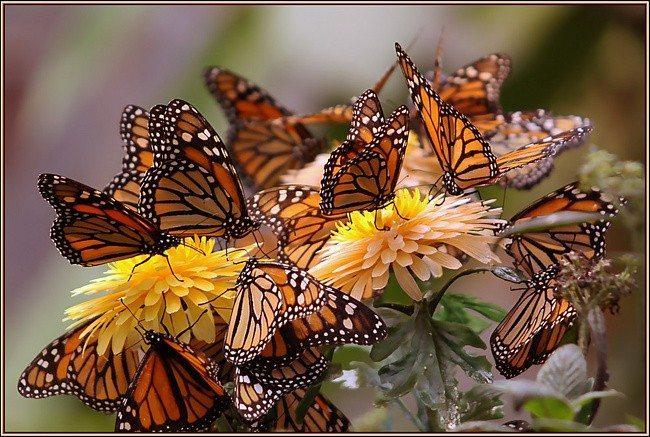 Бабочки — цветы унесенные ветром