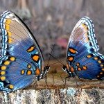 Две бабочки