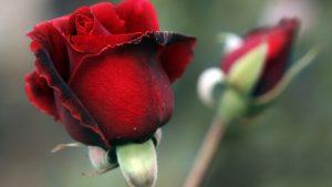 что взять за основу в живом цветке на примере красной розы картинка