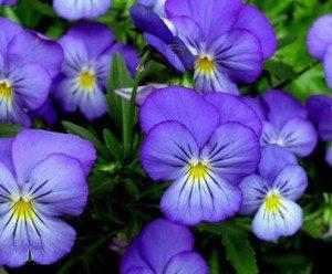 Цветы фиалки