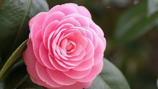 камелия цветок