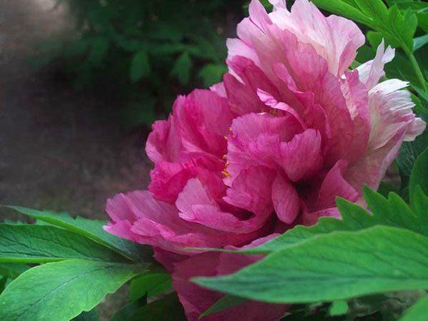 Цветок розовый пион