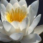 кувшинка- водяная лилия