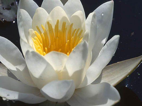 Русалочий цветок Клода Моне – водяная лилия, нимфея, кувшинка