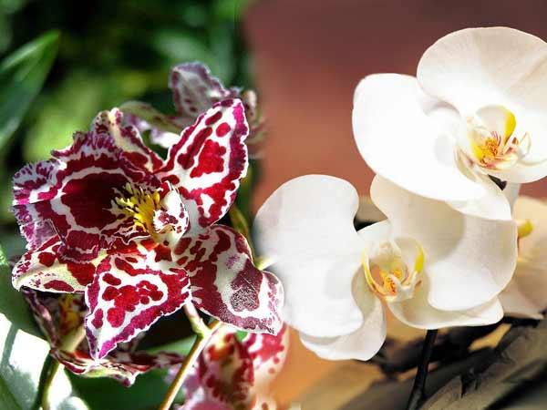Живые орхидеи