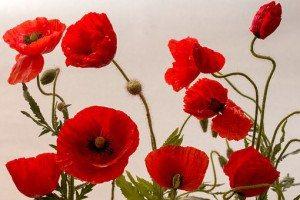 poppy-1457597__340