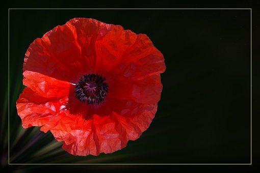 poppy-1872918__340