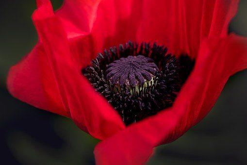 poppy-834203__340