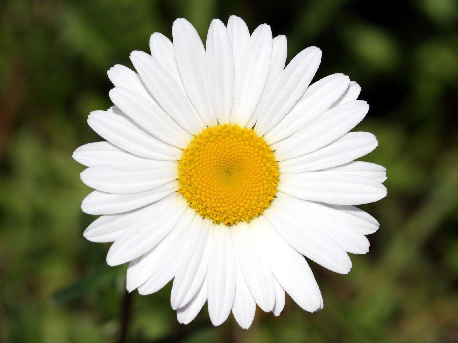 Цветы ромашка