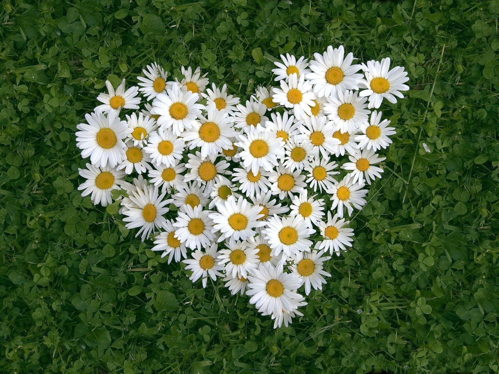 Ромашка — цветок любви и верности