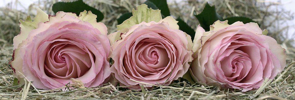 roses-2090840__340
