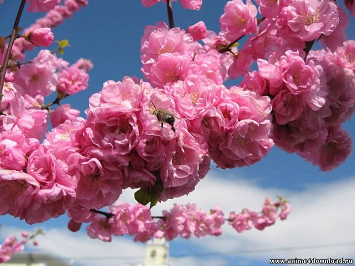 sakura-flower-3
