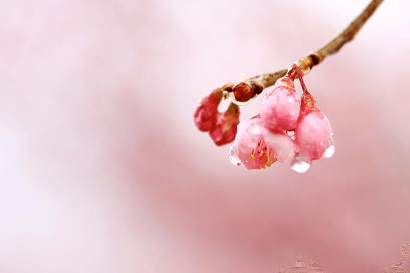 sakura-flower-4