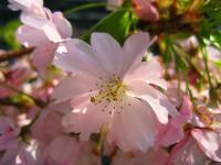 sakura-flower-7