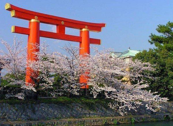 sakura-flower-8
