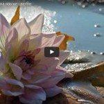 подборка красивых видео-роликов о цветах